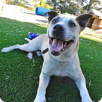 Australian Cattle Dog/American Pit Bull Terrier Mix Dog for adoption in Berkeley, California - Chettie