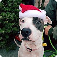 Staffordshire Bull Terrier Puppy for adoption in Allen, Texas - Rain