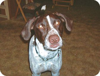 German Shorthaired Pointer Dog for adoption in Bellflower, California - Buck