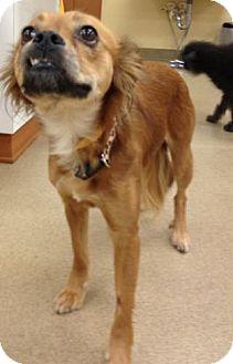 Papillon/Pekingese Mix Dog for adoption in Lancaster, Ohio - Miley