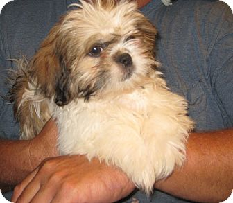 pekingese and shih tzu rocky adopted puppy westport ct shih tzu pekingese mix 5207