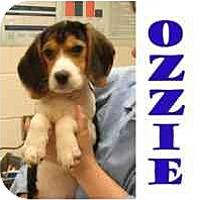 Adopt A Pet :: Ozzie - Pembroke Pines, FL