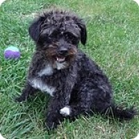 Adopt A Pet :: Mitzi - Shawnee Mission, KS