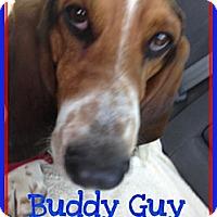 Adopt A Pet :: Buddy Guy - Acton, CA