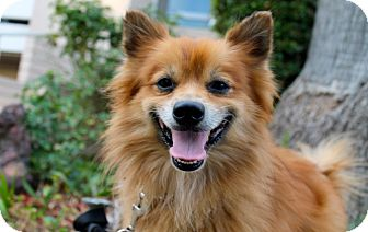 pomeranian los angeles red fox adopted dog los angeles ca pomeranian mix 2176