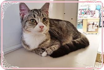 Domestic Mediumhair Cat for adoption in Orange City, Florida - Tiny