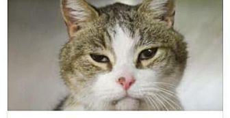 Domestic Shorthair Cat for adoption in Whitestone, New York - Tiger