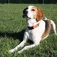 Treeing Walker Coonhound/Beagle Mix Dog for adoption in Mebane, North Carolina - Duncan