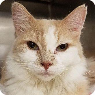 Domestic Longhair Cat for adoption in New York, New York - Mitu