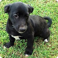 Labrador Retriever/Basset Hound Mix Puppy for adoption in Brattleboro, Vermont - Farrah Riggins