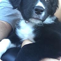 Adopt A Pet :: Saydee - Irmo, SC