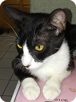Domestic Shorthair Cat for adoption in cupertino, California - Sheba $75.00