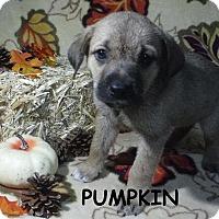 Adopt A Pet :: Pumpkin - Batesville, AR
