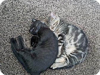 Domestic Shorthair Kitten for adoption in Mississauga, Ontario, Ontario - Vandyke