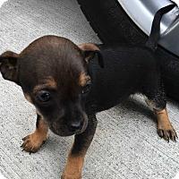 Adopt A Pet :: Claire - Mesquite, TX