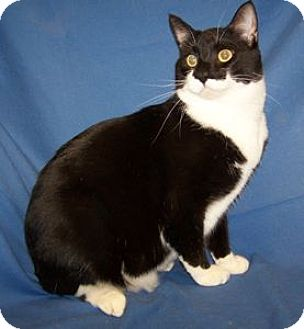 Domestic Shorthair Cat for adoption in Colorado Springs, Colorado - Marley