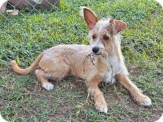 Terrier (Unknown Type, Medium) Mix Puppy for adoption in Deer Park, Texas - Sundance