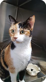 Domestic Shorthair Cat for adoption in Umatilla, Florida - Luvy