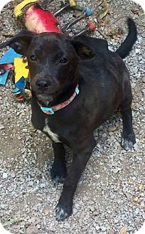 Rat Terrier/Shepherd (Unknown Type) Mix Puppy for adoption in Goodlettsville, Tennessee - Alissa