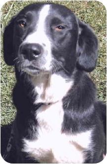 Border Collie/Labrador Retriever Mix Dog for adoption in Grass Valley, California - Elsie