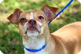 Chihuahua/Beagle Mix Dog for adoption in Brownsville, Texas - Cindy Lauper