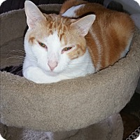 Adopt A Pet :: Mickey Mouse - Tumwater, WA