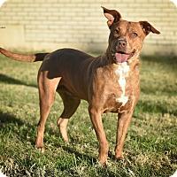 Adopt A Pet :: Mercy - St. Louis, MO