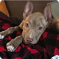 Adopt A Pet :: Praline-ADOPT Me! - Redondo Beach, CA