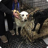 Adopt A Pet :: Maisy - Island Lake, IL