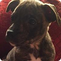 Adopt A Pet :: Amorette - Wenonah, NJ
