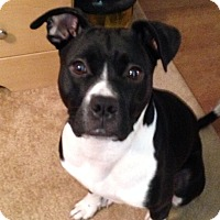 Adopt A Pet :: Lulu (COURTESY POST) - Baltimore, MD