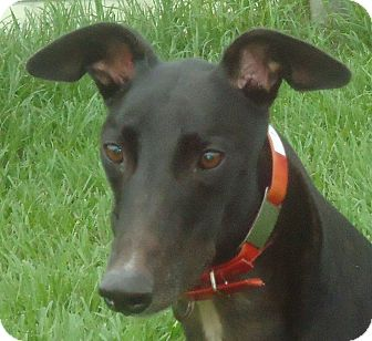 Greyhound Dog for adoption in Longwood, Florida - Killer Link