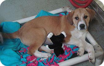Shepherd (Unknown Type)/Labrador Retriever Mix Puppy for adoption in Hohenwald, Tennessee - Alivia