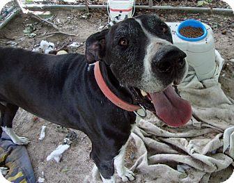 Great Dane Mix Dog for adoption in Daleville, Alabama - BG