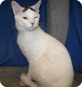 Domestic Shorthair Cat for adoption in Colorado Springs, Colorado - Piper