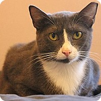 Domestic Shorthair Cat for adoption in Pensacola, Florida - Julie
