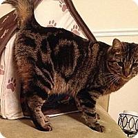 Domestic Shorthair Kitten for adoption in Calumet City, Illinois - Murphy