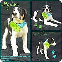 Adopt A Pet :: Mojave - Plano, TX