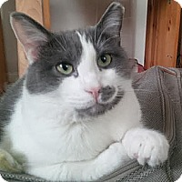"""Adopt A Pet :: Dennis 1 """"Mouse"""" - Plainville, MA"""