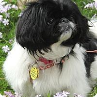 Adopt A Pet :: KoKo - Chantilly, VA