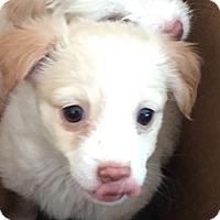 Adopt A Pet :: Pandora - Las Vegas, NV