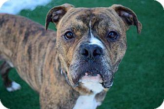Boxer/Pit Bull Terrier Mix Dog for adoption in Elizabethtown, Pennsylvania - Brock