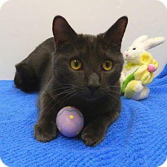 Domestic Shorthair Cat for adoption in McCormick, South Carolina - AA Banjo