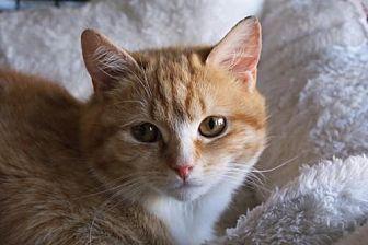Domestic Shorthair Kitten for adoption in New City, New York - Kittens Available