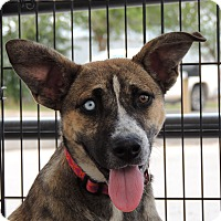 Adopt A Pet :: Faith - Denver City, TX