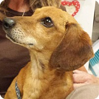 Dachshund Dog for adoption in Los Angeles, California - Tristan