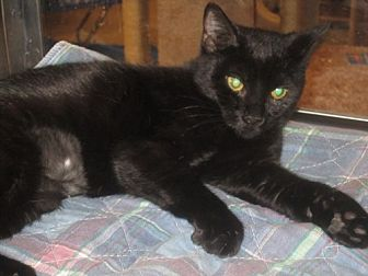 Domestic Shorthair Cat for adoption in Hazlet, New Jersey - Jazmine