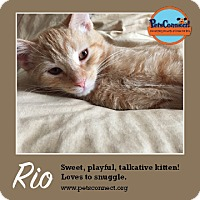 Domestic Shorthair Kitten for adoption in South Bend, Indiana - Rio