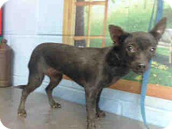 Chihuahua Mix Dog for adoption in San Bernardino, California - URGENT on 10/5 SAN BERNARDINO