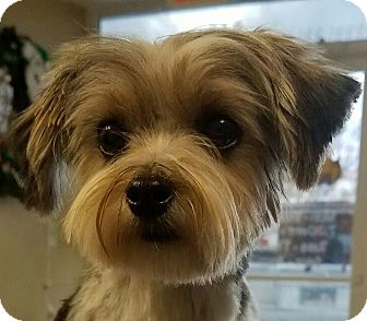 yorkie rescue kentucky lexington ky yorkie yorkshire terrier shih tzu mix 3708